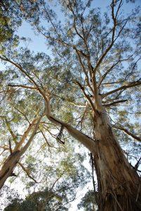 Manna Gum - Eucalyptus viminalis.Photographed in YCA (image S.Tardif)