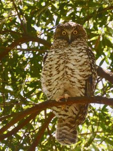 Powerful Owl. Ninox strenua. Photographed in YCA (image B.Tardif)