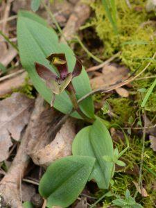 Common Bird Orchid -Chiloglottis valida. Green site YNCR (image S.Tardif)