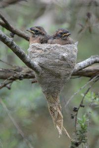 Grey Fantail - Rhipidura albiscapa nestlings YNCR (image B.Tardif)