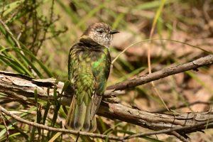 Shining Bronze-Cuckoo - Chrysococcyx lucidus YNCR (image B.Tardif)