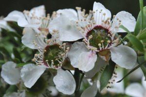 Woolly tea-tree - Leptospermum lanigerum. Photographed in YCA (image S.Tardif)