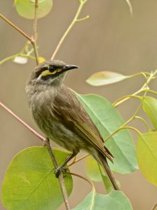 Yellow-faced Honeyeater -Lichenostomus chrysops. White site YNCR (image B.Tardif)