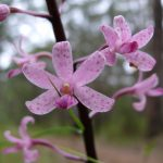 Rosy Hyacinth-orchid - Dipodium roseum Silvan (image S.Tardif)