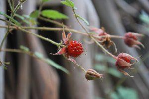 Native Raspberry - Rubus parvifolius (image S.Tardif)
