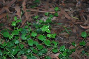 Forest Hound's-tongue - Austrocynoglossum latifolium (image S.Tardif)
